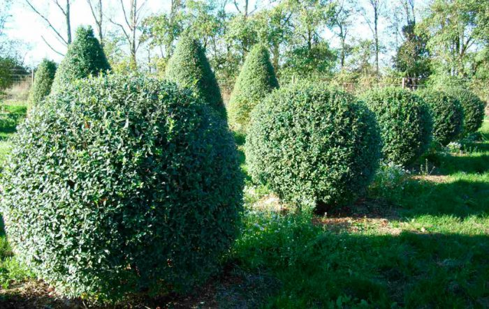 Как посадить бирючину