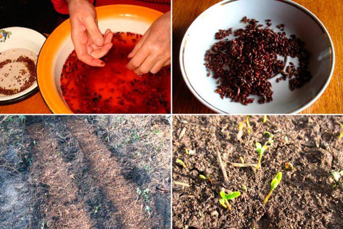 Выращивание барбариса из семян