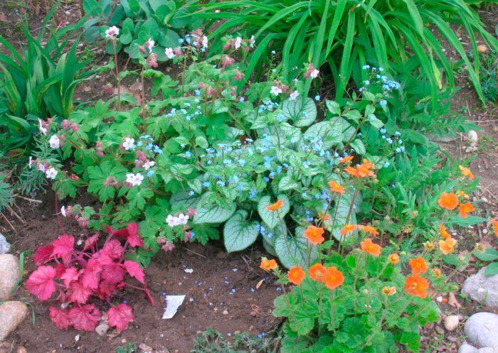 Уход за бруннерой в саду