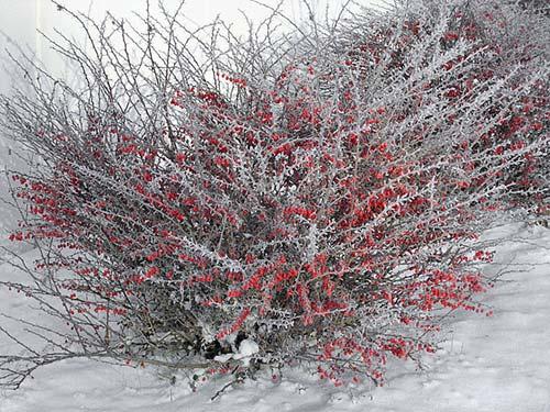 Зимовка барбариса