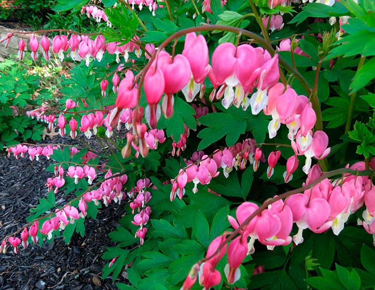 Садовый цветок разбитое сердце