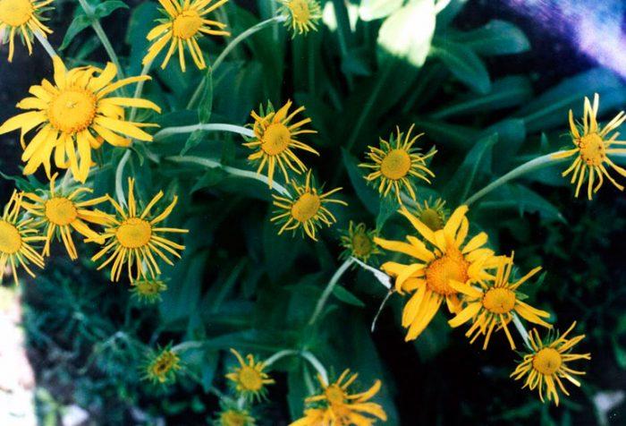 Гелениум весенний
