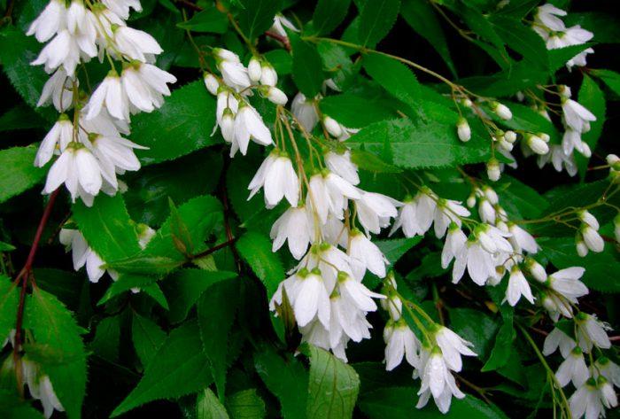 Дейция изящная (Deutzia gracilis)