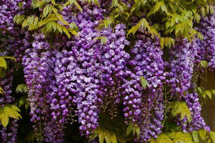 Глициния обильноцветущая, или многоцветковая (Wisteria floribunda)