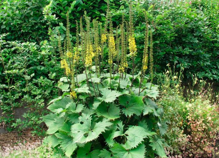 Бузульник Вильсона (Ligularia wilsoniana)