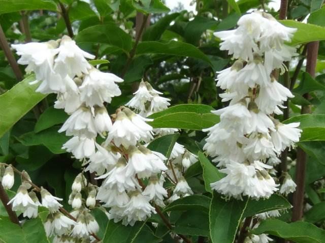 Дейция великолепная, или пышная (Deutzia magnifica)