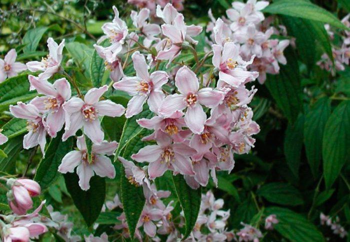 Дейция длиннолистная (Deutzia longifolia)