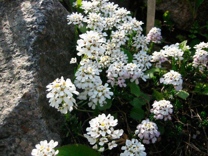 Иберис скалистый (Iberis saxatilis)