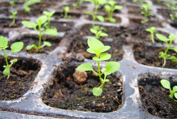 Выращивание годеции из семян