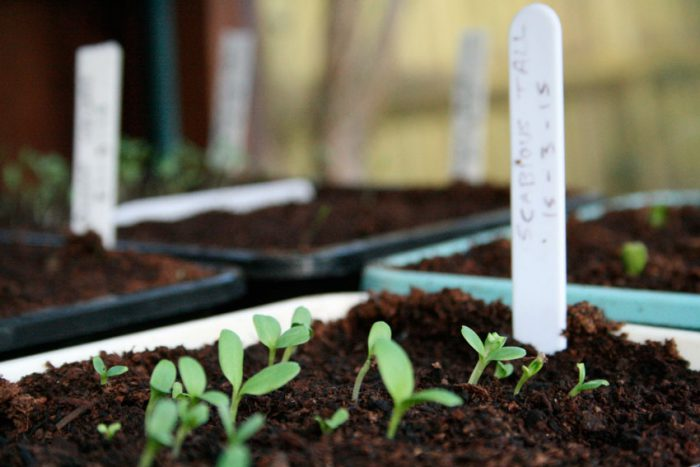 Выращивание гипсофилы из семян