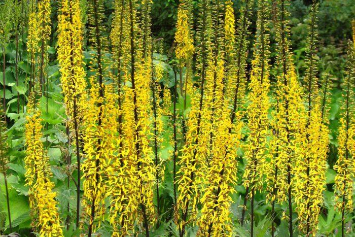 Бузульник Пржевальского (Ligularia przewalskii)