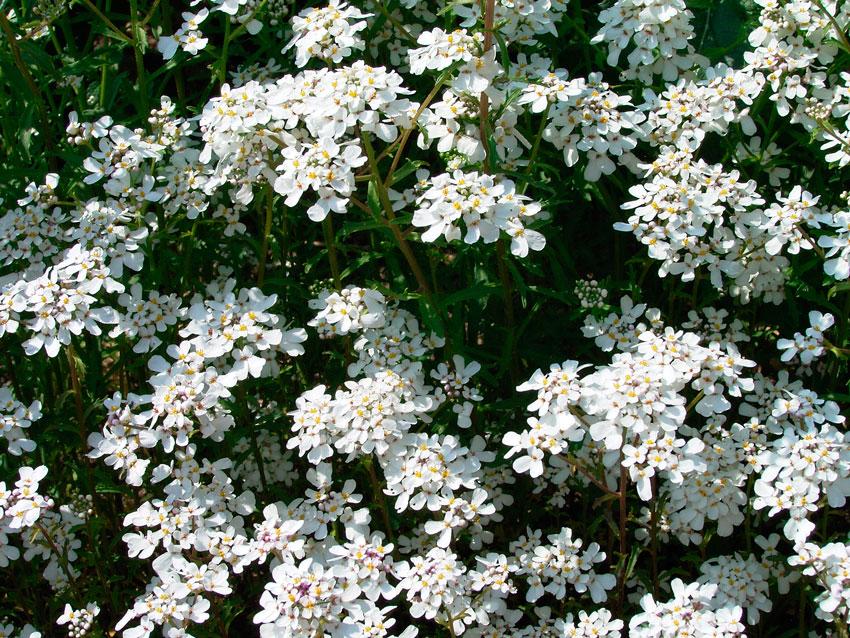 Цветы иберис фото сорта