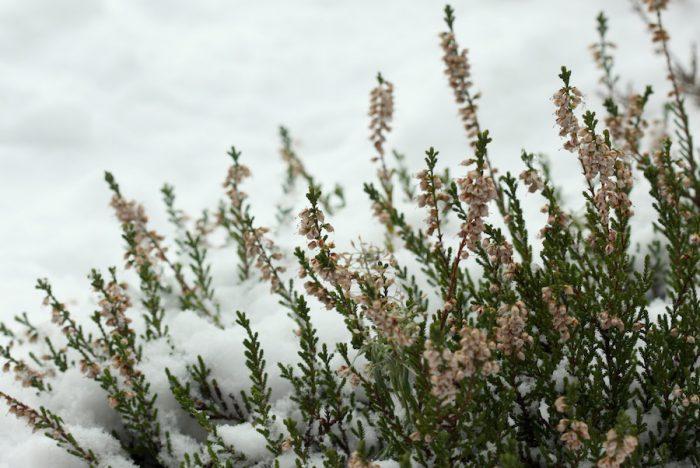 Вереск после цветения