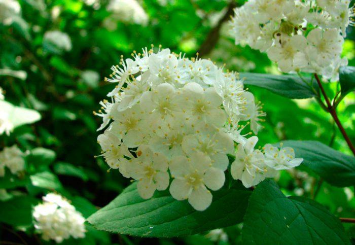 Дейция амурская, или мелкоцветная (Deutzia amurensis)