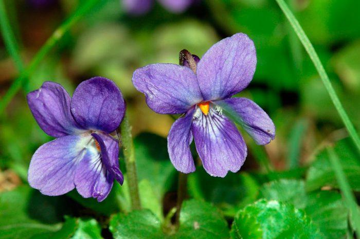 Виола душистая (Viola odorata)
