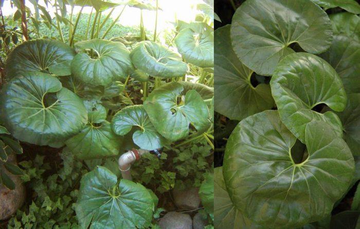 Бузульник Кемпфера (Ligularia kaempferi)