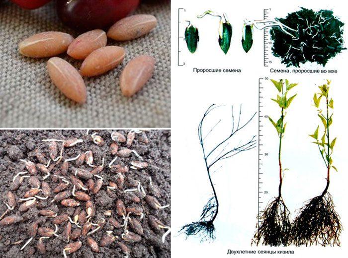 Выращивание кизила из косточки