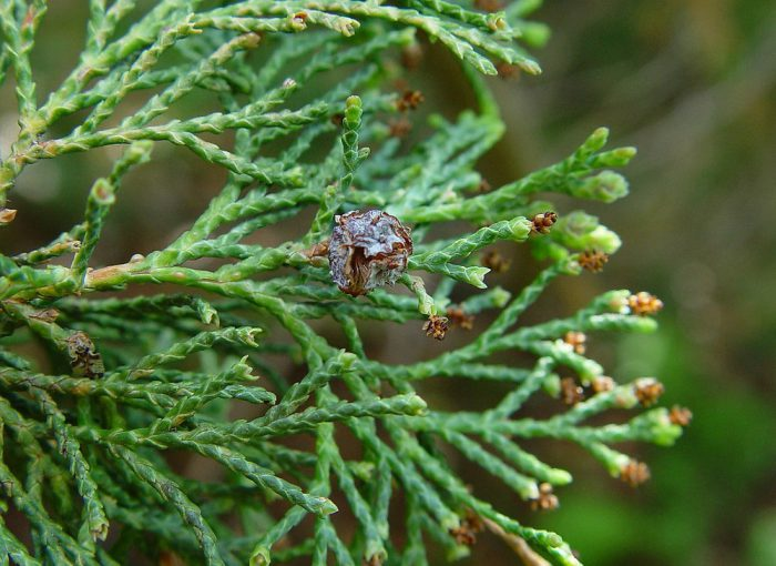 Кипарисовик туевидный (Chamaecyparis thyoides)
