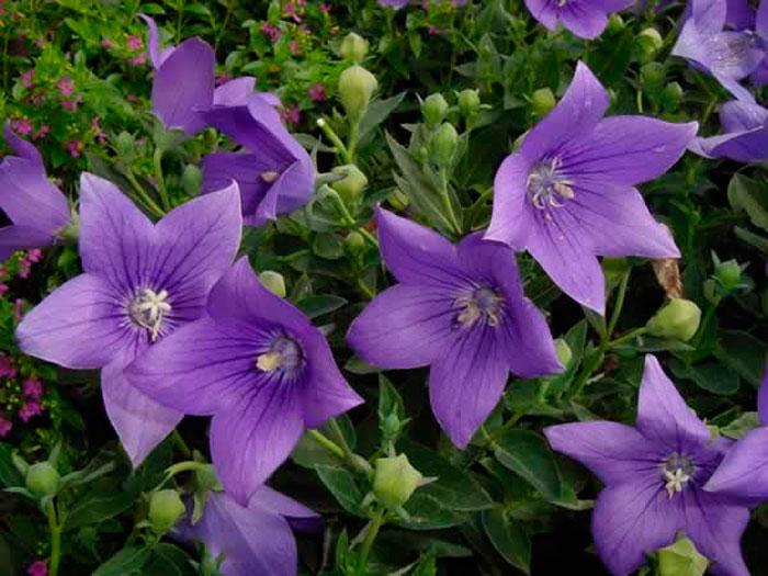 Платикодон цветок — сорта, посадка и уход