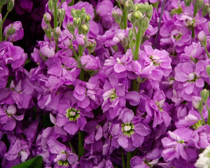 Левкой (маттиола): фото цветов, выращивание из семян, посадка и уход в открытом грунте