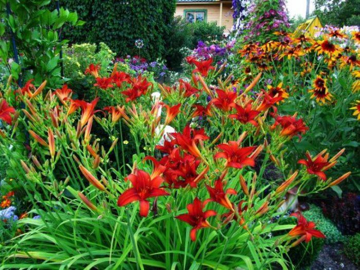 Уход за лилейником в саду