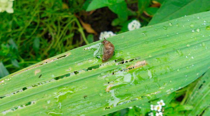 Лилейники в саду и их выращивание