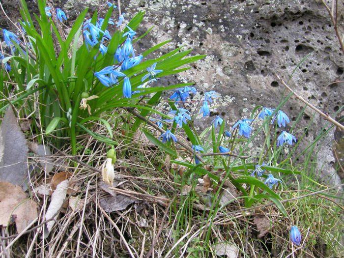 Кавказский (Scilla sibirica subsp. caucasica)