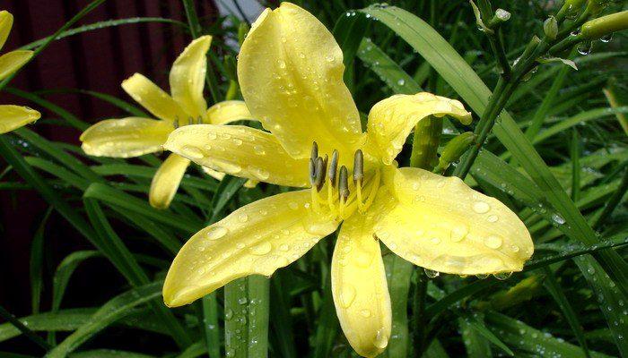 Лилейник лимонно-желтый