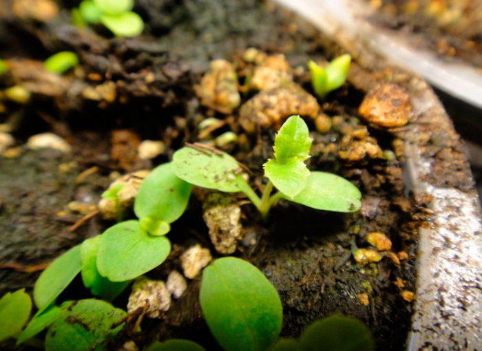 Выращивание платикодона из семян