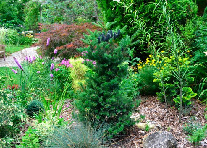 Уход за пихтой в саду