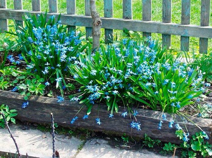Уход за сциллой в саду