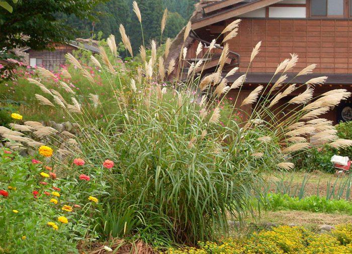Уход за мискантусом в саду