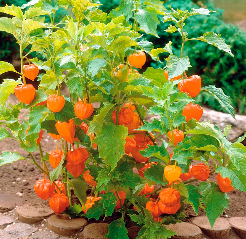 Физалис - родня помидора: выращивание и уход