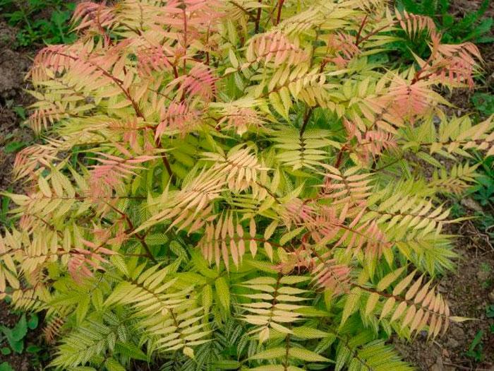 Особенности выращивания рябинника рябинолистного, посадка и уход за живой изгородью