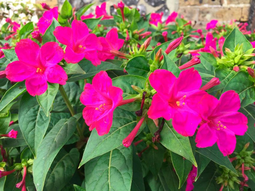 Цветок ночная красавица мирабилис