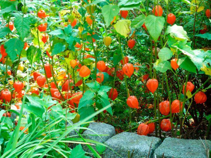 Уход за физалисом в саду