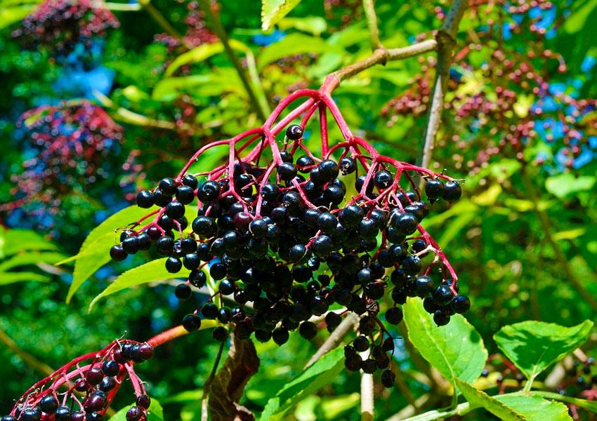 Черная и красная бузина: выращивание, подкормка, размножение