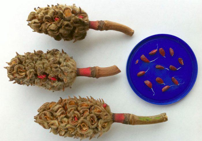 Выращивание магнолии из семян