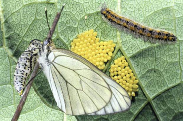 Гусеница бабочки-боярышницы
