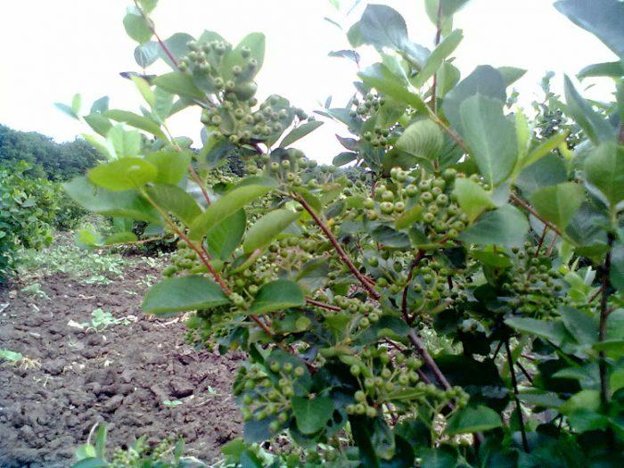 Черноплодная рябина на дачном участке