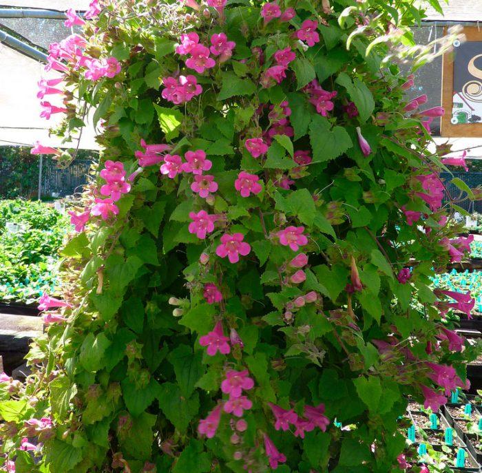 Выращивание азарины лазающей – посадка и уход за цветком