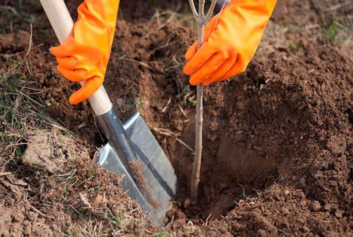 Как посадить алычу весной