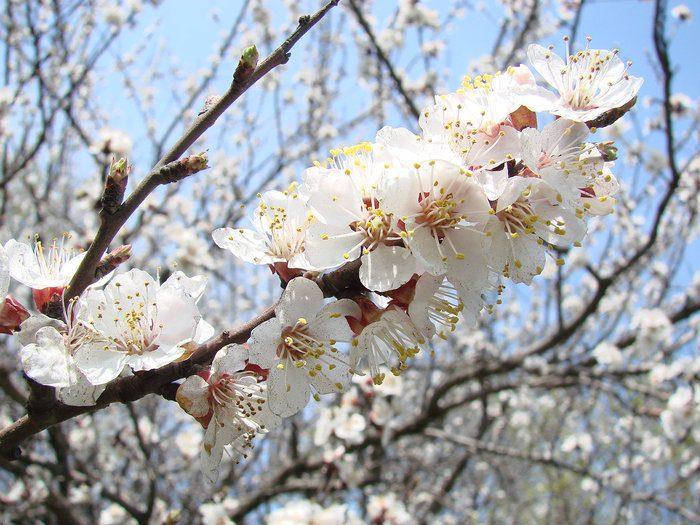 Уход за абрикосом весной