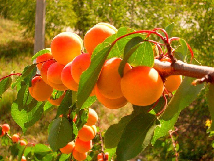 Уход за абрикосом летом