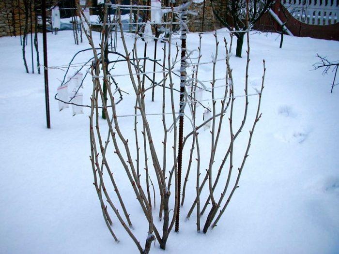 Зимовка малины