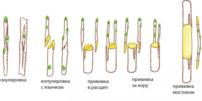 способы прививки