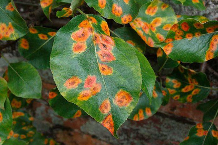 Дерево груша: посадка и уход, обрезка и прививка, болезни и вредители с фото