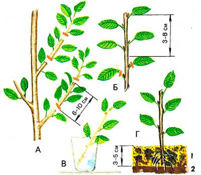 Размножение вишни зелеными черенками