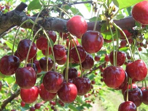 Средние сорта вишни