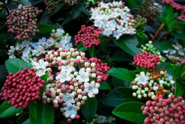 Калина лавролистная (Viburnum tinus), или калина вечнозеленая